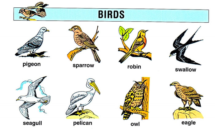 birds-in-english